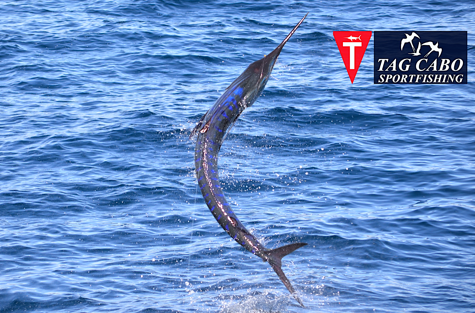 Striped marlin tag cabo sportfishing for Marlin fishing cabo