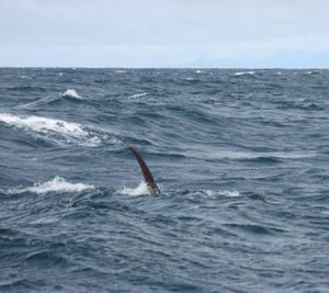 marlin-tail